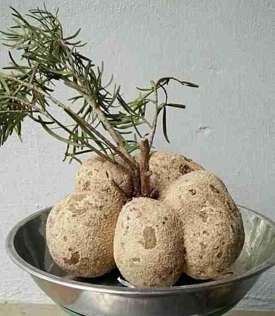 Một ông tiến sỹ ở tỉnh Lâm Đồng vừa trồng thành công loài nấm quý gì mà ví như thần dược ở Trung Quốc?