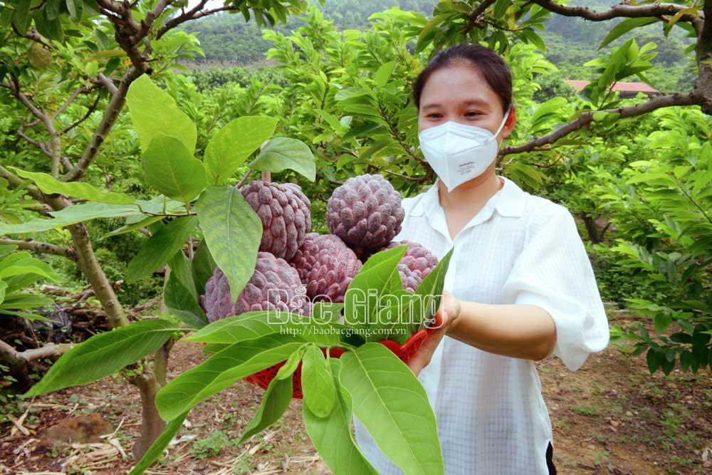 2 loại na độc lạ ở Bắc Giang: 1 loại tím lịm tìm sim, 1 loại cực khủng mỗi quả nặng gần 1kg