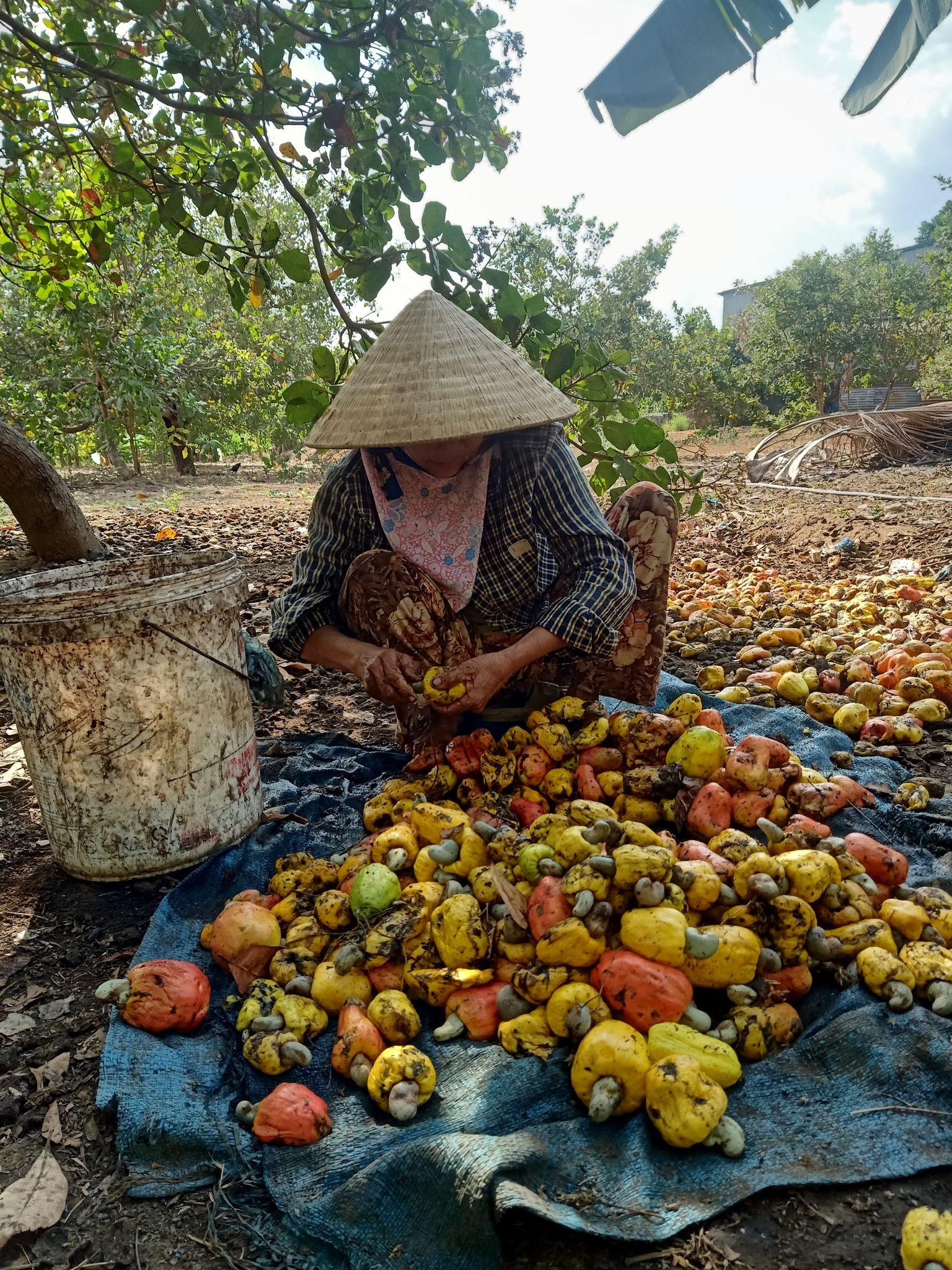 Nông dân Ea Súp thất thu mùa điều
