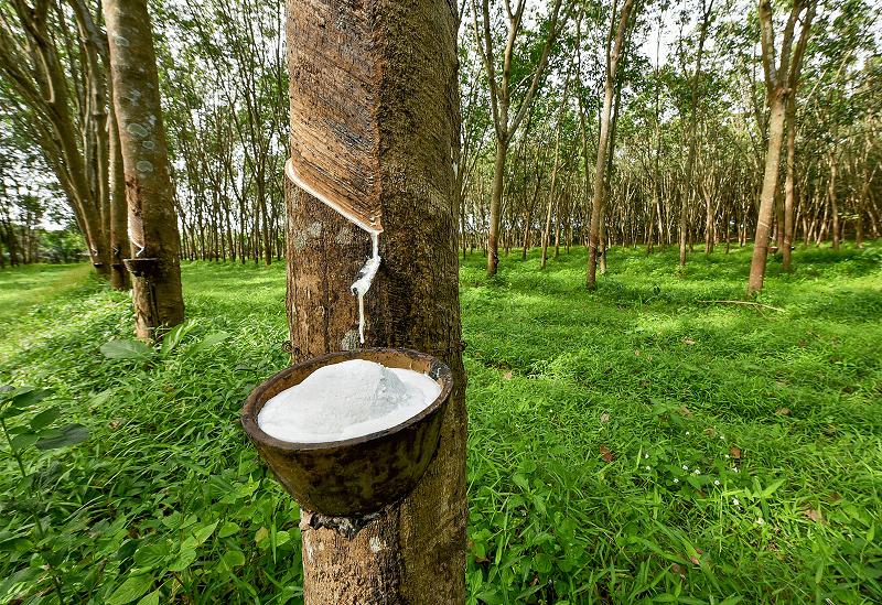 Quảng Trị: Loài cây suốt 10 năm trời mất giá chán chê, nay dân cứ xách thùng ra vườn là có tiền triệu