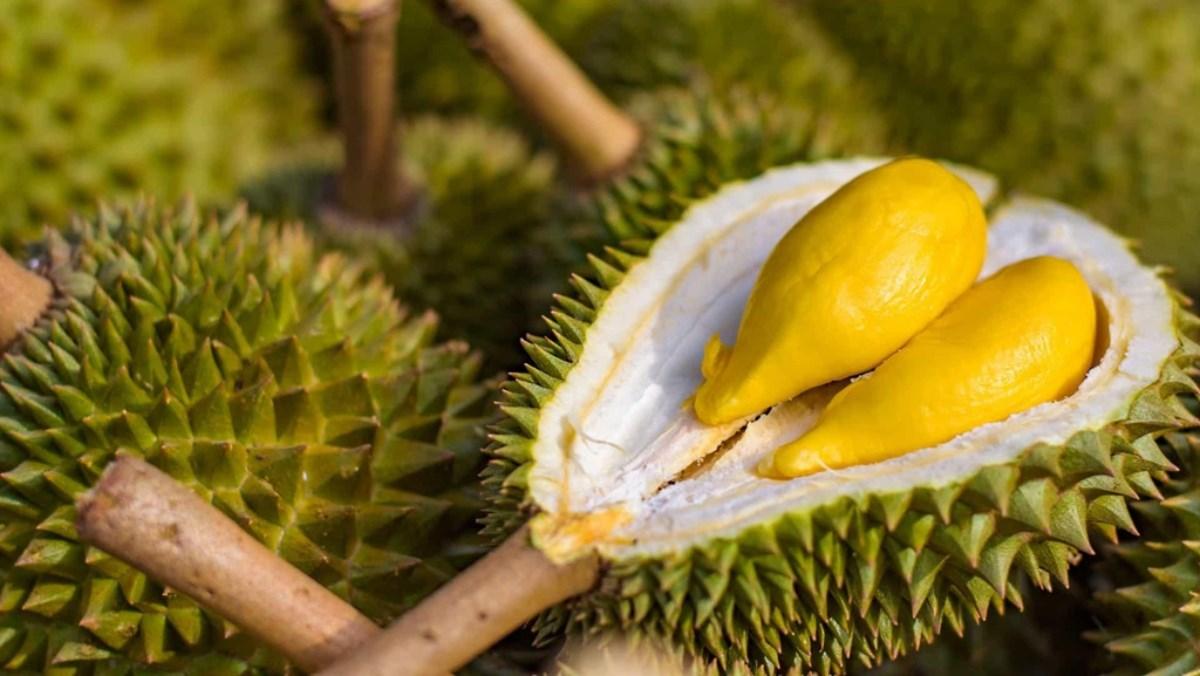 Đắk Lắk: Sầu riêng ra trái chi chít, chính quyền hỗ trợ tối đa để thương lái đến mua bán trái đặc sản này