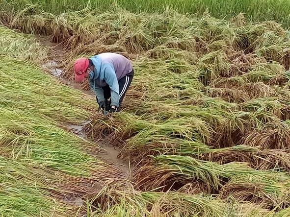 Huyện Ea Súp: Nông dân khốn khổ vì nhiều diện tích lúa bị ngập úng