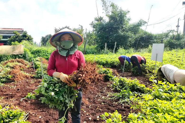 Lâm Đồng: Trồng thứ cây quả