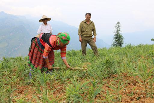 Bỏ lúa, ngô kém hiệu quả, trồng gừng thu nhập cao